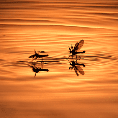 mosquitoes on water laying eggs